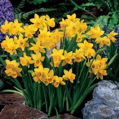 daffodils - Google'da Ara
