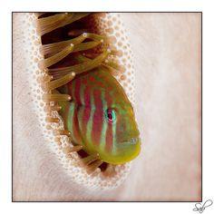 A Gobi hiding in a coral. Marine Aquarium Fish, Reef Aquarium, Underwater Images, Underwater World, Beneath The Sea, Under The Sea, Siren's Call, Macro And Micro, Two Fish