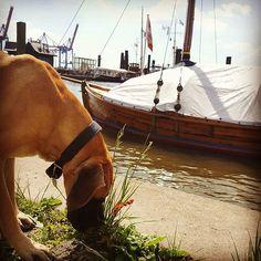 Olivia Dogge mit Wikinger Boot im Hintergrund #dogge #hund #dogs #deutschedogge #wikinger #vikings #boot #ship #schiff #boat #wikingerBoot #peace #summertime #sunshine #water #harbour #waterkant #schnüffeln #zeitunglesen #doglover #bigdog