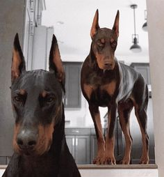 Furbo Dog Camera: Treat Tossing, Full HD Wifi Pet Camera and Audio, Designed for Dogs, Compatible with Alexa (As Seen On Ellen), white Doberman Pinscher Dog, Doberman Dogs, Dobermans, Cute Dogs And Puppies, Big Dogs, Doggies, Corgi Puppies, Pitbull, Scary Dogs
