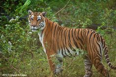 Tigress at Bandipur!!