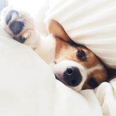 Beagle snoozer...