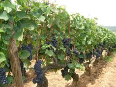 397 besten grape vine art bilder auf pinterest. Black Bedroom Furniture Sets. Home Design Ideas