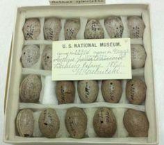 http://media.eol.org/content/2012/01/27/18/65071_orig.jpg  Smithsonian institution, division of birds