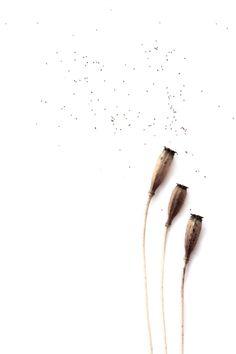 arte y oficio- esta cápsula protege las semillas mientras que permanecen en su interior y cuando llegan a la madurez, se abren unos minúsculos poros bajo el bello sombrerillo en forma de parasol, por el que saldrán al exterior la forma en que estas se dispersas es similar al mecanismo de un incensario, que se mueva mecido por el viento  me asombra cómo la naturaleza realiza un trabajo bien hecho, bien acabado, que cumple a la perfección con las funciones para la que fue creado y que ...