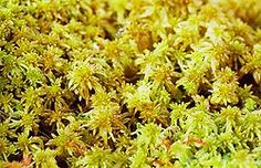 vitmossa - Sök på Google Parsley, Grains, Flora, Herbs, Plants, Google, Meadow Flowers, Alps, Herb
