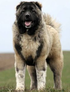 Caucasian Shepherd Dog also known as the Caucasian Ovcharka is an ancient breed that for centuries was little known outside the remote regions from which it hails, namely the Caucasus which incorporate: Georgia, Armenia, Azerbaijan, Dagestan, Iran and Turkey -- a member of the working group of dog breed and despite its appellation of sheepdog/shepherd this dog was never a livestock herder but rather a guardian.