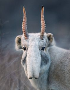 """yourownpetard: """"anarcho-individual: """" myfrogcroaked: """" Here is the best animal face you will see today! This is a Saiga antelope (Saiga tatarica), a species listed in CITES Appendix II and evaluated as critically endangered by the IUCN Red List. It..."""