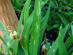 f3b54ca0829 Information On Iris Leaf Spot Fungal leaf disease Plant Pests
