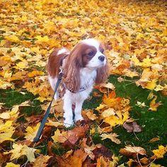Blenheim Cavalier King Charles Spaniel among the autumn leaves.
