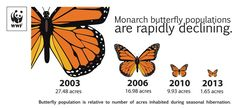 Monarch butterflies are disappearing at an alarming rate because: (1) the Mexican forests where they overwinter are being cut down; (2) modern agriculture has eliminated milkweed, a primary food source for young butterflies, from midwestern US fields; and (3) climate change has placed deadly droughts and cold snaps along their migration route.