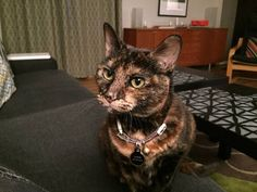 Missing Cat (Westville)    © craigslist - Map data © OpenStreetMap Fountain Street at Davis Street (google map)  lost or found?: lost  Missing -- Annie, a female tortoiseshell cat has been missing since Monday Sept. 28, from Fountain Hill condo area. May be wearing a collar with peace signs. She has never been outside, is gentle and loves attention. Please email, call or text with any information.