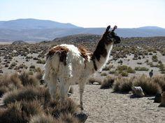 Alpacas fühlen sich wohl auf der Hochebene (Altiplano)