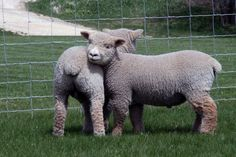 """Babydoll Southdown Sheep as lambs, """"teddy bear"""" sheep (miniature sheep, with wonderful wool & personalities that make good pets - good for mowing acreage too!)"""