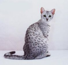 Egyptian Mau - if there were any breeders living near me I would totally have this cat! <3