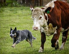 Australian Cattle Dog / Blue Heeler with Cow Friend