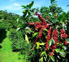 beans-on-tree (1)