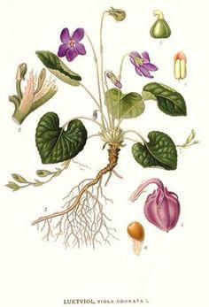 Botanical illustration                                                                                                                                                                                 Más
