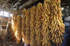 Corn #Galicia