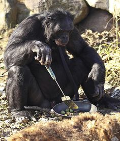 Kanzi the bonobo from the Great Ape Trust in Des Moines, Iowahas discovered how to create tools in order to obtain food. This 31-year-old primate is considered one of the most advanced animals alive, having already shown an understanding of  human language and communication.