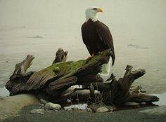 Morning Solitude - Bald Eagle