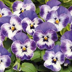 Viola Sorbet XP Delft Blue (6 plants) £4.50