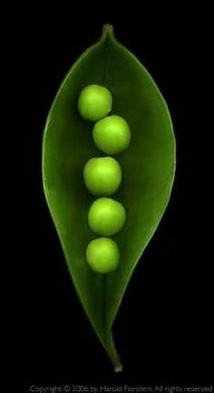 Spring's garden delight!!  **Green peas in a pod!!