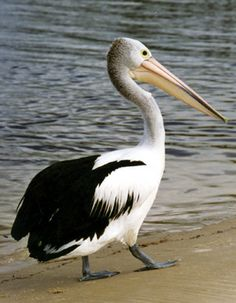 pelicans | Pelicans | Soulsong Art - Lynette Weir's Studio Diary