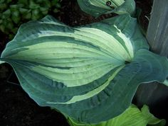 Guardian Angel Hosta - makes a great gift!  Specially for someone who has lost someone or needs support! Or even to start a Memorial Garden spot!