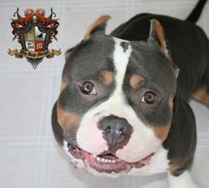Beastro the American Bully, I love this dog! Was so happy when I got to play with him! Beyond Gorgeous!