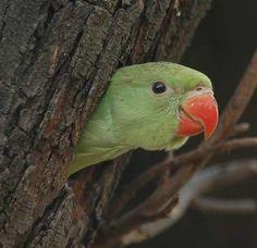 The Northern India Bird