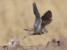 Image result for Burrowing Owl Burrowing Owl, Christmas Bird, Pet Birds, Animals, Image, Birds, Animales, Animaux, Animal
