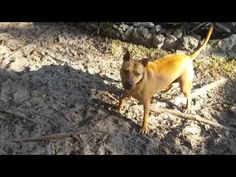 AXLE fetching his JollyBall. - YouTube