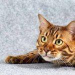 Bengal cat new wallpaper