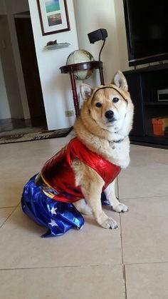 Wonder Woman Shiba