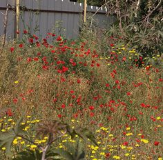 Wild poppies,Holon April 2017 #wild poppies #wildflowers