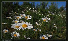 Prestekrage (Leuchantemum vulgare) Dog Memorial, Flora, Dogs, Plants, Pet Dogs, Doggies, Plant, Planets