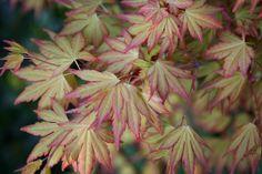 Spring acer palmatum 'orange dream'