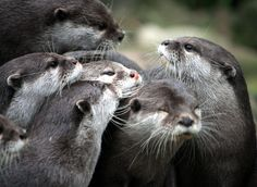 Otter Gathering — The Daily Otter Otters Cute, Baby Otters, River Otter, Sea Otter, Baby Animals, Funny Animals, Cute Animals, Animal Pictures, Cute Pictures