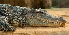 Resultado de imagen de cabeza cocodrilo