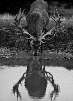 Black and white buck