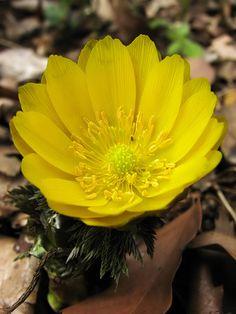 Adonis amurensis [Family: Ranunculaceae]; by ashitaka-f