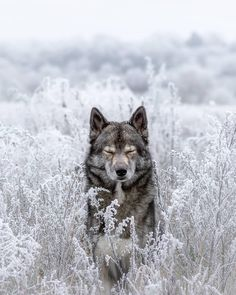 Wolf look alike Siberian Husky Mainz, Germany Wolf Photos, Wolf Pictures, Animal Pictures, Nature Animals, Animals And Pets, Funny Animals, Cute Animals, Animals In Snow, Wild Animals