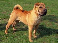 Chinese Shar-Pei  Boy that looks like my Bridgett Lee...miss her so much still and always will!  1998-2010