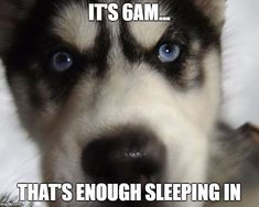 Siberian husky meme wake up