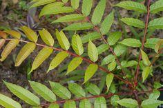 Los diferentes tipos de hojas de árboles - http://www.jardineriaon.com/los-diferentes-tipos-de-hojas-de-arboles.html #plantas