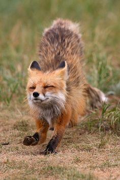 Red Fox, Breckenridge, Colorado | by: {Nate Zenman}