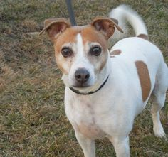 This is little Jack but he's NOT a dull boy!  He is a ton of fun and a great friend indeed.  he returned to the shelter in Nov 2013 when his owner fell ill.  He's about nine years young, and has a great spring in his step and lots of living to do. ...