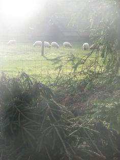 E&B. Drents heide schaap Sheep
