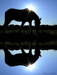 #horses #reflections